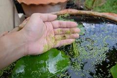 Duckweed kij na ludzkiej ręce obraz stock