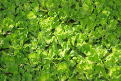 Duckweed Stock Photo