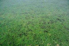 Duckweed on Lake Tisza Royalty Free Stock Photo