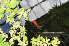 Duckweed lemna minor in pond with small red fish. Swimming royalty free stock image