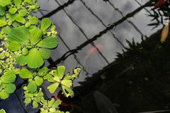 Duckweed lemna minor in pond with small red fish stock photo