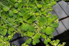 Duckweed lemna minor waterplant top view. Lake Stock Image