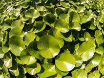 Duckweed Lemnoideae в пруде в солнечном дне, fisheye отображает стоковое изображение rf