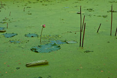 Duckweed in Lotus Ponds Stock Image
