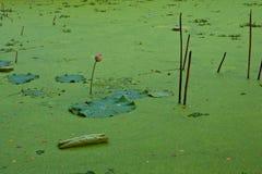 Duckweed in Lotus Ponds Stock Image