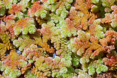 Duckweed, Mosquito fern. Royalty Free Stock Image