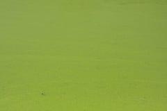 Duckweed na stawie Zdjęcie Stock