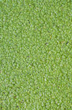 Duckweed natural abstract background. Royalty Free Stock Photography
