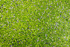 Duckweed natural. The duckweed natural abstract background Royalty Free Stock Photo