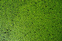 Duckweed on The water royalty free stock image