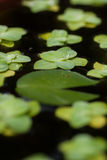 Duckweed natural with water drop Royalty Free Stock Images