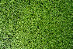 Duckweed på vattnet royaltyfri bild