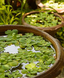 Duckweed plant Stock Images