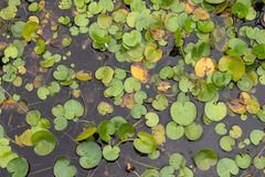 Duckweed pond. Duckweed, a single leaf plant, is produced worldwide except for the Arctic region. Floating, tiny herbs, found in fresh water; plants are reduced Royalty Free Stock Image