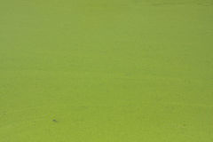 Duckweed on a pond Stock Photo