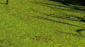 Duckweed In Pond 4k. 4K Duckweed flow In the Pond stock video footage