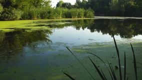 Duckweed and reeds on river. Green duckweed and reeds on river in summer stock video