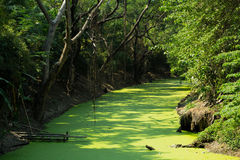 Duckweed river Stock Photos