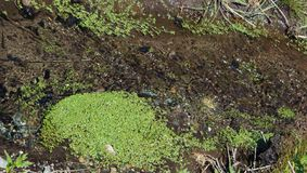 Duckweed spreading in a slow moving creek. Spreading duckweed in a slow moving creek Royalty Free Stock Images