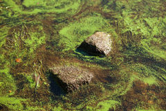 Duckweed and stones Royalty Free Stock Photo