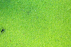 Duckweed on the surface Royalty Free Stock Photos