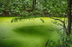 Duckweed swamp Royalty Free Stock Image