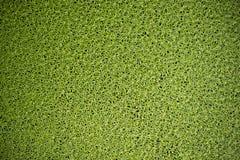 Duckweed tekstura Zdjęcie Stock