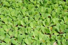 Duckweed water Stock Image