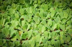 Duckweed water Stock Photo