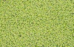 Duckweed Stock Photography