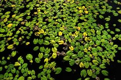 Duckweeds Stock Images