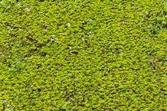 Duckweeds Stockfotografie