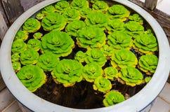Duckweeds flotantes en un lavabo Foto de archivo libre de regalías