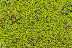 Duckweeds Stock Photography
