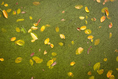 Duckweeds and Yellow Leaf Royalty Free Stock Photo