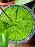 Duckweek leaf Stock Images