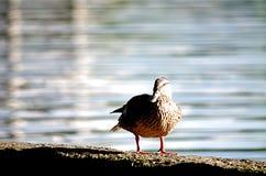 ducky στοκ φωτογραφία