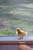 Ducky Lizenzfreie Stockfotos