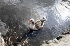 ducky Stockfotos