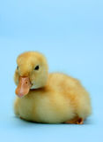 Ducky Royalty Free Stock Images