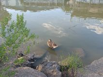 ducky Fotografia de Stock