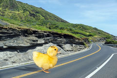 Ducky crossing the road. Stock Photo