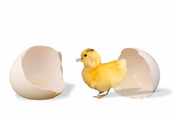 Ducky and Egg. Little ducky just out of the egg shell royalty free stock photo