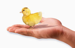 Ducky in the hand. Little baby ducky in palm of hand royalty free stock photos