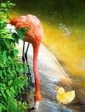 Ducky meets Flamingo. Royalty Free Stock Photo