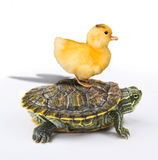 Ducky taking a Ride. Royalty Free Stock Photos
