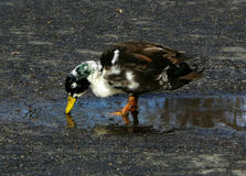 Duclair Bibbed Mallard. A Duclair/Bibbed mallard taking a drink from a puddle. Duclair's or Bibbed mallards are often referred to as manky mallards due to their Royalty Free Stock Photography