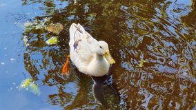 Ducky in park water. Ducm ducky park water ducks nature stock photos