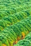 Ducth领域用绿色无头甘蓝在秋天 库存图片