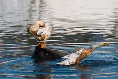 Ducy en el agua Foto de archivo libre de regalías